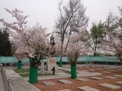 アンビリバボー ウズベキスタン ヤッカサライ/タシケント抑留日本人墓地の桜とナヴォイ劇場建築で抑留された捕虜 永田行夫大尉 4月20日